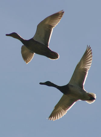 Two ducks flying overhead backlit by the sun