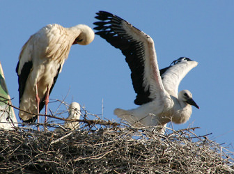 Storks nesting on a church roof